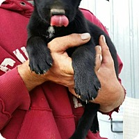 Labrador Retriever/Shepherd (Unknown Type) Mix Puppy for adoption in Olympia, Washington - Rueger