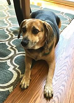 German Shepherd Dog/Beagle Mix Dog for adoption in Chicago, Illinois - Reese