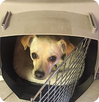 Chihuahua Mix Dog for adoption in Salt Lake City, Utah - Desert Lily