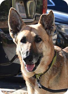 German Shepherd Dog Dog for adoption in Greensboro, North Carolina - Lady