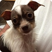 Adopt A Pet :: Tiny Duke - Allentown, PA