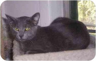Domestic Shorthair Cat for adoption in St. Louis, Missouri - Grayson
