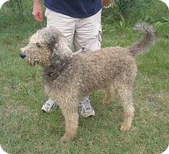 Old English Sheepdog/Poodle (Standard) Mix Dog for adoption in W
