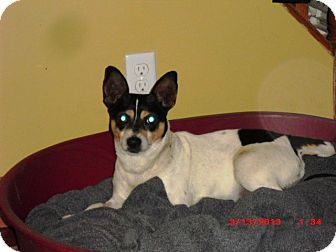 Toy Fox Terrier Dog for adoption in Northumberland, Ontario - Artie
