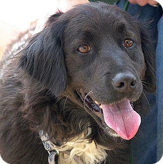 Flat Coated Retriever Cross Miraze | Adopted Dog |...