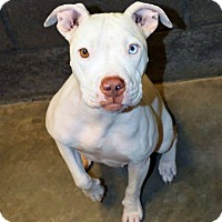 Adopt A Pet :: Sheena - Scottsdale, AZ