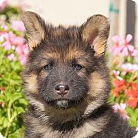 Adopt A Pet :: Nick von Tia - Thousand Oaks, CA