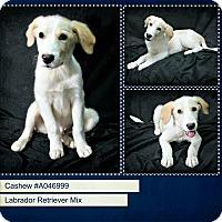 Adopt A Pet :: Cashew - Lufkin, TX