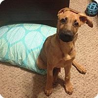 Adopt A Pet :: Timber - Austin, TX
