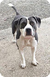 Staffordshire Bull Terrier/American Staffordshire Terrier Mix Dog for adoption in Bainbridge Island, Washington - VICTORIA (Auburn) EASY GOING BEAUTY