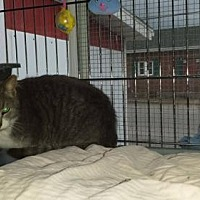 Domestic Shorthair Cat for adoption in Iroquois, Illinois - Mulberry