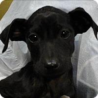 Adopt A Pet :: Bella - Birmingham, AL