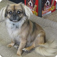 Adopt A Pet :: Penny - Gary, IN