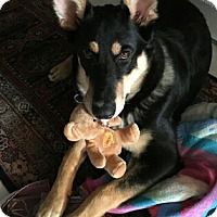 Adopt A Pet :: Shylo(pending) - Northumberland, ON