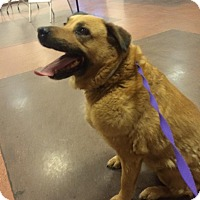 Labrador Retriever/German Shepherd Dog Mix Dog for adoption in Phoenix, Arizona - Maggie