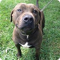 Pit Bull Terrier Mix Dog for adoption in Pataskala, Ohio - Daniel