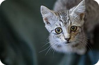 Domestic Shorthair Kitten for adoption in Lincoln, California - Ivy