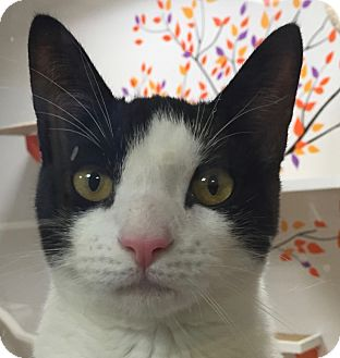 Domestic Shorthair Cat for adoption in Norwalk, Connecticut - Bedford