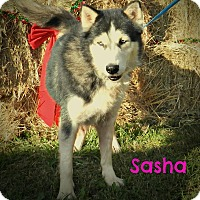 Adopt A Pet :: Sasha - Lawrenceburg, TN