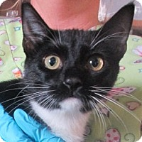 Domestic Shorthair Kitten for adoption in Germantown, Maryland - Sylvia