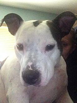 American Bulldog/Terrier (Unknown Type, Medium) Mix Dog for adoption in Bolingbrook, Illinois - NIKO