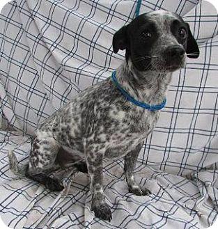 Australian Cattle Dog/Rat Terrier Mix Dog for adoption in Pt. Richmond, California - JUNE