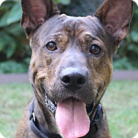 Bull Terrier/Belgian Malinois Mix Dog for adoption in Los Angeles, California - Handsome Tiger