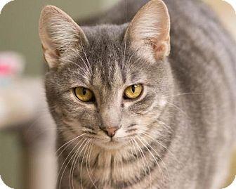 Domestic Shorthair Cat for adoption in Fargo, North Dakota - Trudy