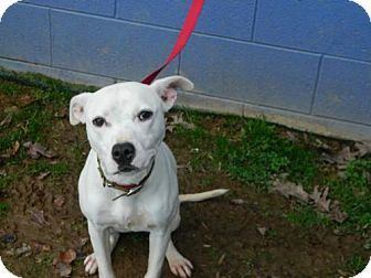 Pit Bull Terrier Dog for adoption in Randleman, North Carolina - Missy