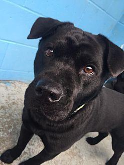 Chow Chow/Labrador Retriever Mix Dog for adoption in Joplin, Missouri - Sissy