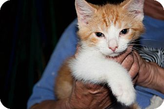 American Shorthair Kitten for adoption in New Egypt, New Jersey - Pumpkin