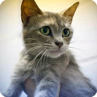 American Shorthair Cat for adoption in Chesapeake, Virginia - Kelly & Alley