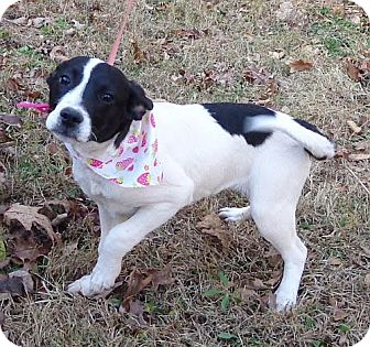 Border Collie/Beagle Mix Puppy for adoption in Allentown, Pennsylvania - Gloria ($50 off)