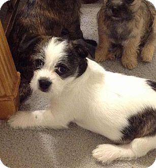 ... Puppy | Westport, CT | Boston Terrier/Yorkie, Yorkshire Terrier Mix