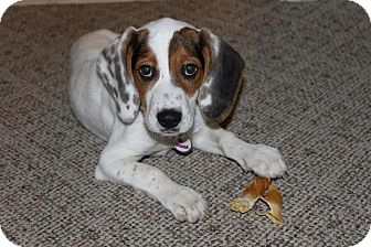 Beagle Mix Puppy for adoption in Sparta, New Jersey - Sam