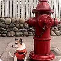 Adopt A Pet :: Cooper calm easy trained compa - Sacramento, CA