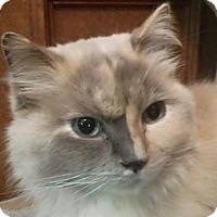 Adopt A Pet :: Kibby - purebred - Ennis, TX