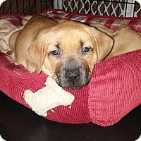 Adopt A Pet :: Pippy - Eastpointe, MI