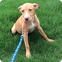 Adopt A Pet :: Romeo in CT - Manchester, CT