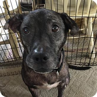 American Staffordshire Terrier Mix Dog for adoption in Westampton, New Jersey - Nahla  33252721  *IN FOSTER*
