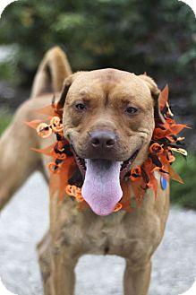 Chesapeake Bay Retriever Mix Dog for adoption in Elyria, Ohio - Rocket