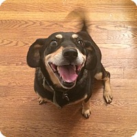 Beagle/Labrador Retriever Mix Dog for adoption in Charlotte, North Carolina - Trish