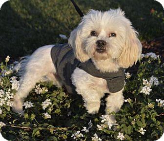 Maltese/Toy Poodle Mix Dog for adoption in Palo Alto, California - Snowflake