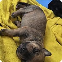 Adopt A Pet :: Saffron - Durham, NC