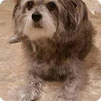 Yorkie, Yorkshire Terrier Mix Dog for adoption in Potomac, Maryland - Hannah