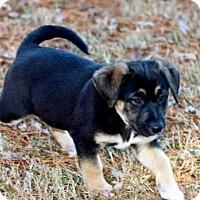 Adopt A Pet :: PUPPY PLUTO - Washington, DC