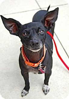 Chihuahua/Miniature Pinscher Mix Dog for adoption in Baton Rouge, Louisiana - LeeLoo