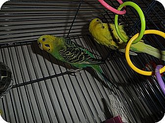 Parakeet - Other for adoption in Neenah, Wisconsin - Neah & Jill