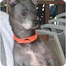 Adopt A Pet :: Taylor aka 'Blue-B