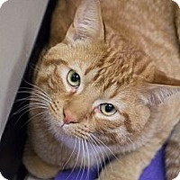 Adopt A Pet :: Johnny Lap Cat - Chicago, IL